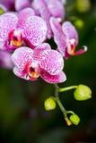 Цветок орхидеи фаленопсиса гибридный, SDF стоковая фотография