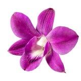 Цветок орхидеи шарлаха изолированный на белой предпосылке Стоковое Изображение RF