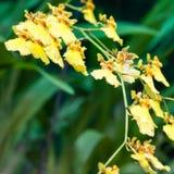Цветок орхидеи Oncidium стоковое изображение