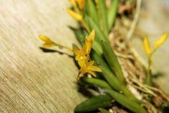 Цветок орхидеи yelow макроса стоковая фотография