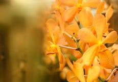 Цветок орхидей золотого самородка Mokara Стоковые Изображения RF