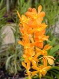 Цветок орхидей золотого самородка Mokara Стоковое Изображение RF