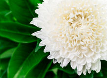 Цветок осени астры белый Стоковое Изображение RF
