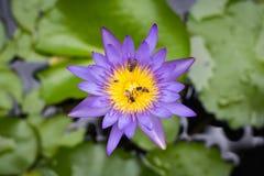 Цветок лотоса взгляд сверху красивые фиолетовые или лилия воды имеют пчел g Стоковые Изображения RF
