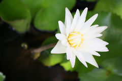 Цветок лотоса в бассейне Стоковое фото RF
