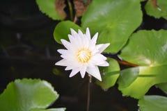 Цветок лотоса в бассейне Стоковое Изображение
