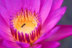 Цветок лотоса в концепции eco природы красивой Стоковая Фотография