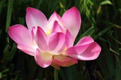 Цветок лотоса в парке Стоковые Фотографии RF