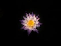 Цветок лотоса в пруде города Стоковая Фотография