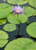 Цветок лотоса в пруде города Стоковые Изображения RF