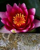 Цветок лотоса в пруде, конкретный край лилии красной воды Стоковое фото RF