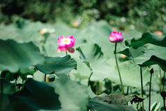 Цветок лотоса в пруде Стоковые Фото