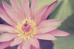 Цветок лотоса в пруде Стоковые Изображения