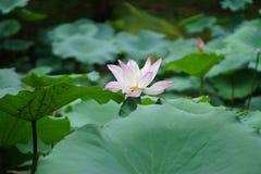 Цветок лотоса в пруде Стоковая Фотография