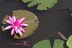 Цветок лотоса в реке Стоковая Фотография