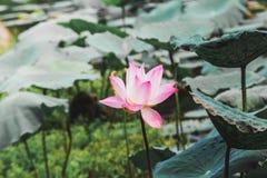 Цветок лотоса в Таиланде Стоковое Фото