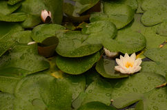 Цветок лотоса зацветая в пруде lilypad Стоковые Фото