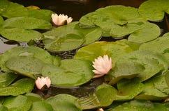 Цветок лотоса зацветая в пруде lilypad Стоковая Фотография