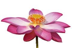 Цветок лотоса изолированный на белой предпосылке Стоковое фото RF