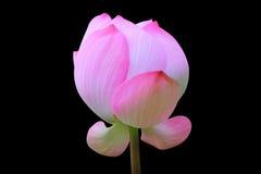 Цветок лотоса изолированный на черноте Стоковое Изображение RF