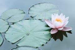 Цветок лотоса или пинка цветок макроса waterlily одиночный Стоковая Фотография RF