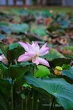Цветок лотоса или nucifera Nelumbo Стоковое Фото