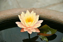 Цветок лотоса или waterlily Стоковые Фото