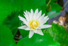 Цветок лотоса и цветок лотоса заводы, вода Стоковое Изображение RF