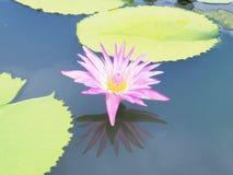 Цветок лотоса и цветок лотоса заводы, цветок лотоса лилии воды дальше Стоковая Фотография
