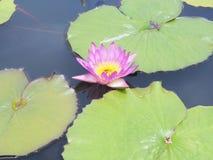 Цветок лотоса и цветок лотоса заводы, цветок лотоса лилии воды дальше Стоковое фото RF