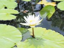 Цветок лотоса и цветок лотоса заводы, цветок лотоса лилии воды дальше Стоковое Изображение RF