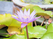 Цветок лотоса и цветок лотоса заводы, цветок лотоса лилии воды дальше Стоковые Фото