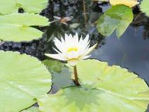 Цветок лотоса и цветок лотоса заводы, цветок лотоса лилии воды дальше Стоковые Фотографии RF