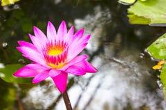Цветок лотоса и цветок лотоса заводы Стоковые Изображения RF