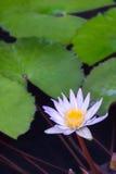 Цветок лотоса и цветок лотоса заводы стоковое изображение