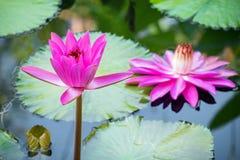Цветок лотоса и цветок лотоса заводы стоковая фотография rf