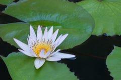 Цветок лотоса и цветок лотоса заводы стоковые фотографии rf