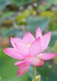 Цветок лотоса и цветок лотоса заводы Стоковое фото RF