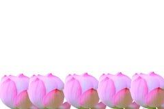Цветок лотоса на белизне для предпосылки Стоковое фото RF