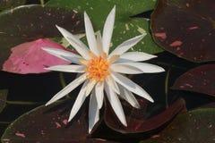 Цветок лотоса на Таиланде Стоковые Изображения