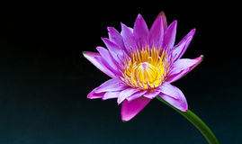 Цветок лотоса Стоковое Изображение