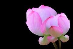 Цветок лотоса на черноте Стоковые Фото