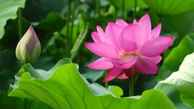 Цветок лотоса с бутоном сток-видео