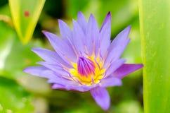 Цветок лотоса с зеленой предпосылкой Стоковая Фотография RF