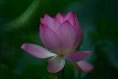 Цветок лотоса цветения в временени стоковые изображения