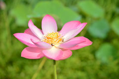 цветок лотоса цветения, красивый цветок лотоса в утре, розовый лотос плавая, цветок nucifera Nelumbo стоковые изображения rf