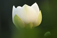 Цветок лотоса цветения Стоковое Изображение