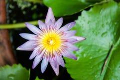 Цветок лотоса цветения Стоковая Фотография