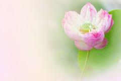 Цветок лотоса цветеня Стоковое фото RF