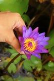 Цветок лотоса цветок в естественном Стоковое Изображение